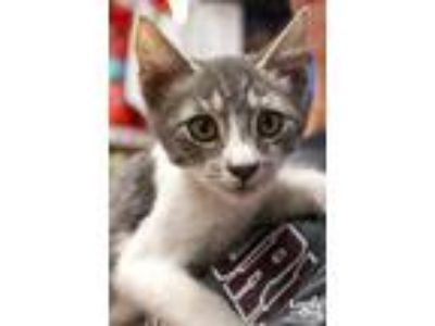 Adopt Zander a Gray or Blue (Mostly) Domestic Shorthair / Mixed (short coat) cat