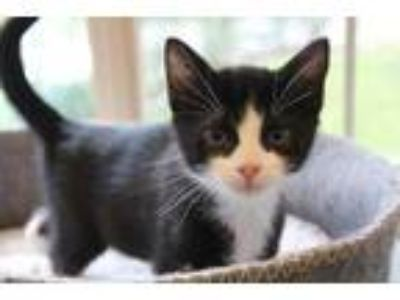 Adopt Fun Ghoul a All Black Domestic Shorthair / Domestic Shorthair / Mixed cat