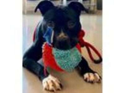 Adopt Veronica a Pit Bull Terrier