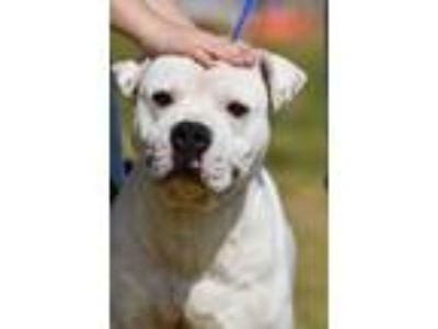 Adopt Otis a White - with Brown or Chocolate Boxer / Mixed dog in Newberry