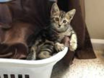 Adopt SUNDANCE a Brown or Chocolate (Mostly) Domestic Shorthair / Mixed (short