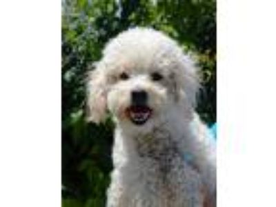 Adopt Daisy a White Poodle (Miniature) / Mixed dog in New York, NY (25548154)