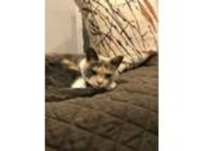 Adopt Alice a Brown Tabby American Shorthair / Mixed cat in Washington