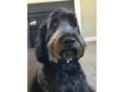 Adopt Louie a Brown/Chocolate - with Black Golden Retriever / Poodle (Standard)