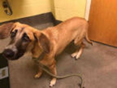 Adopt KING a Brown/Chocolate - with White German Shepherd Dog / Redbone