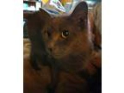 Adopt Betty a Domestic Short Hair
