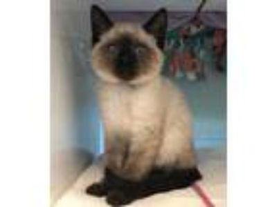 Adopt Steph a Domestic Short Hair, Siamese