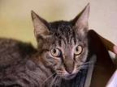 Adopt MOMMA CAT a Domestic Short Hair