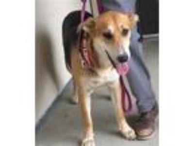 Adopt SARAH a Tricolor (Tan/Brown & Black & White) German Shepherd Dog / Mixed