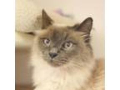 Adopt Moppett a Siamese / Mixed (long coat) cat in Troutdale, OR (25527306)