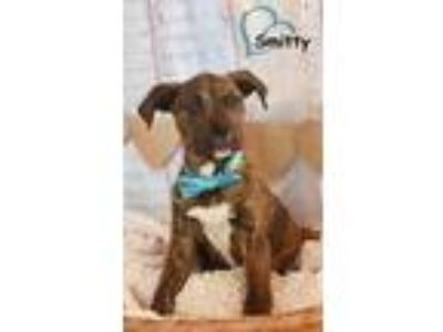 Adopt Smitty a Catahoula Leopard Dog, Boxer