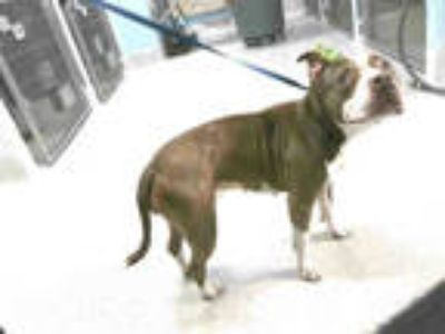 Adopt SKYLA a Brown/Chocolate - with White American Staffordshire Terrier /