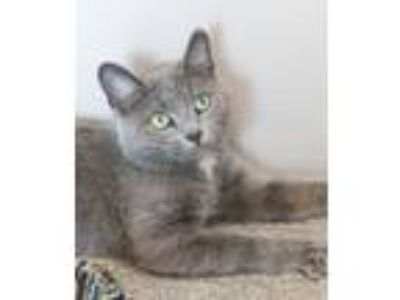 Adopt Adair a Domestic Short Hair, Russian Blue