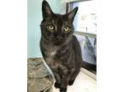 Adopt Honda a Domestic Medium Hair