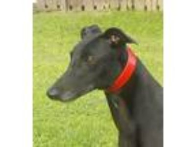 Adopt WENDY IPrison Trained) a Greyhound