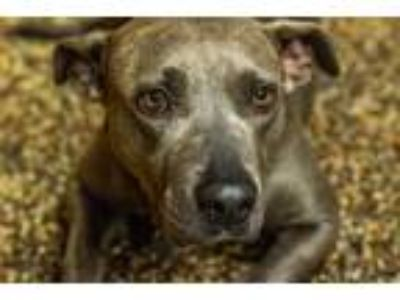 Adopt Ginger a Gray/Blue/Silver/Salt & Pepper Pit Bull Terrier dog in Milton