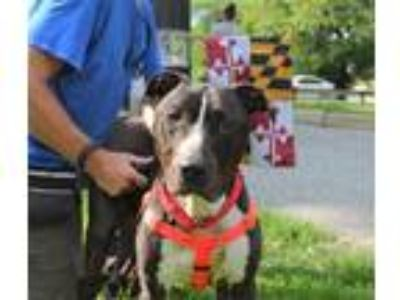 Adopt Charm a Pit Bull Terrier