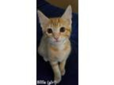 Adopt Billie a Domestic Short Hair