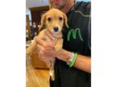 Adopt Johnny a Yorkshire Terrier, Beagle