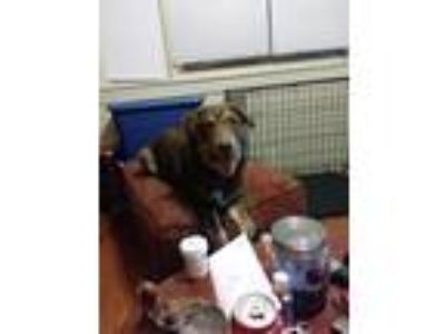 Adopt Copper a Brown/Chocolate - with White Labrador Retriever / Husky / Mixed