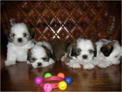 Shih Tzu puppies for sale in good homes