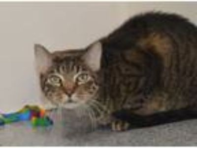 Adopt Quincey a Domestic Short Hair