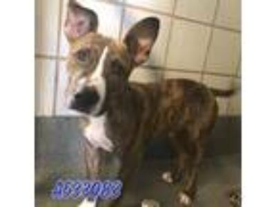 Adopt a Brindle - with White American Pit Bull Terrier / Mixed dog in San