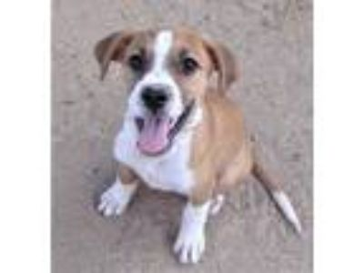 Adopt Wide Stripe Faced pup a Shih Tzu / Beagle / Mixed dog in San Tan Valley
