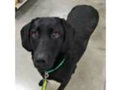Adopt 19-d04-020 Sally a Labrador Retriever
