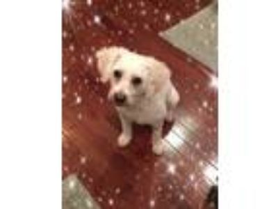 Adopt Pending!! Indigo - IL a White Bichon Frise / Mixed dog in Tulsa