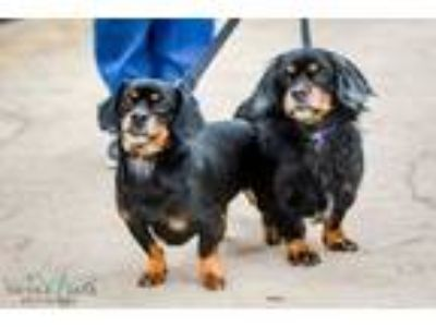 Adopt Marty McFly and Doc Brown a Dachshund
