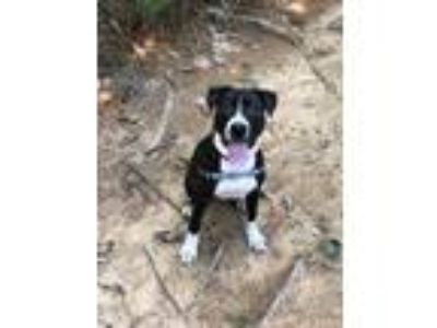 Adopt Zeus a Black - with White Terrier (Unknown Type, Medium) / Mixed dog in