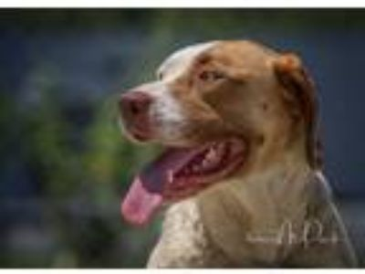 Adopt Star a Red/Golden/Orange/Chestnut - with White Hound (Unknown Type) /