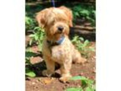 Adopt LOWELL a Tan/Yellow/Fawn - with White Lhasa Apso / Mixed dog in