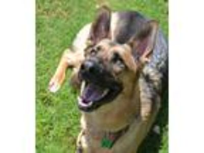 Adopt Forrest a Black - with Tan, Yellow or Fawn German Shepherd Dog / Mixed dog