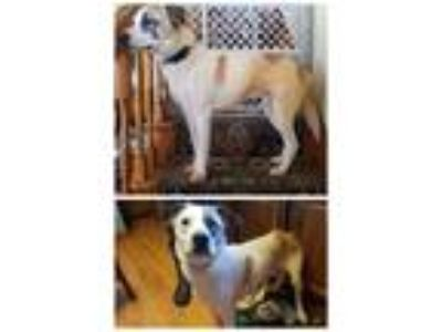 Adopt Butternut a White - with Tan, Yellow or Fawn Labrador Retriever / Mixed
