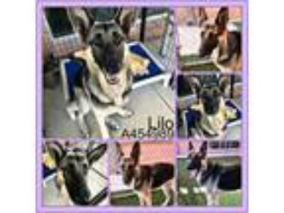 Adopt LILO a Black - with Tan, Yellow or Fawn German Shepherd Dog / Mixed dog in