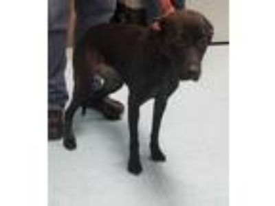 Adopt TRIXIE a Black Labrador Retriever / Mixed dog in Clinton, NC (25906267)