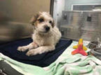 Adopt FRITZ a Tricolor (Tan/Brown & Black & White) Jack Russell Terrier / Mixed