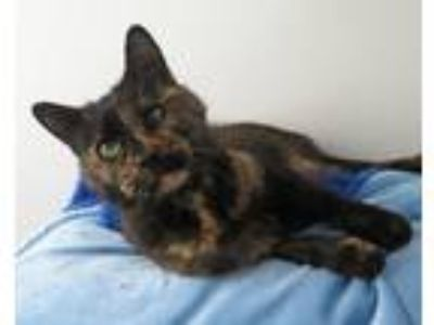 Adopt Marlene a Tortoiseshell Siamese (medium coat) cat in High Point