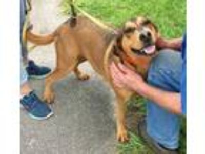 Adopt Lisa a Brown/Chocolate Hound (Unknown Type) / Black Mouth Cur / Mixed dog