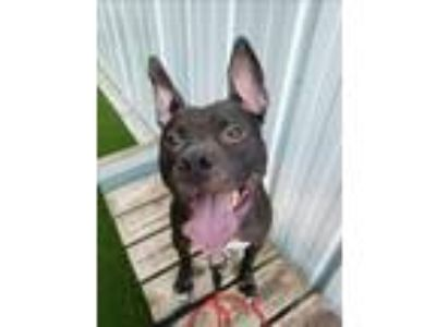 Adopt Black Widow a American Staffordshire Terrier / Mixed dog in Raleigh