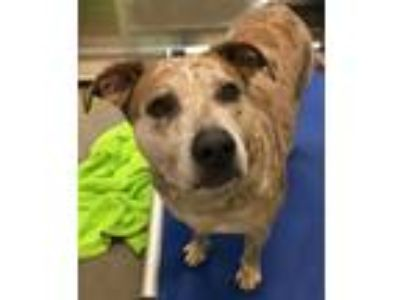 Adopt Smudge a Australian Cattle Dog / Mixed dog in Pittsburgh, PA (25365922)