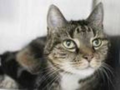Adopt Roxy a Gray or Blue Domestic Shorthair / Domestic Shorthair / Mixed cat in
