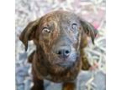 Adopt Merlin a Hound, Mixed Breed