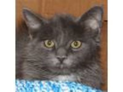 Adopt Smokey a Domestic Longhair / Mixed cat in Des Moines, IA (25908944)
