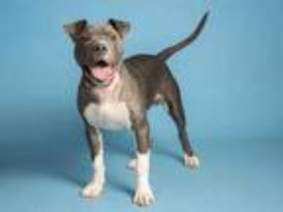 Adopt PO a Gray/Silver/Salt & Pepper - with White American Pit Bull Terrier /
