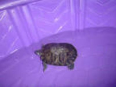 Adopt SPUD a Turtle - Other / Mixed reptile, amphibian, and/or fish in