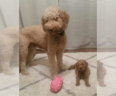 Goldendoodle PUPPY FOR SALE ADN-130282 - 2 males available 7 weeks old
