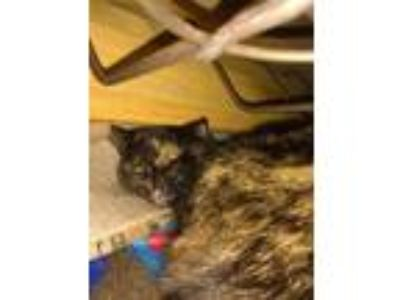 Adopt Tassie a Tortoiseshell American Shorthair / Mixed cat in Penfield